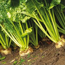 Our commitment header sugar beet