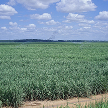 Sugar growing field
